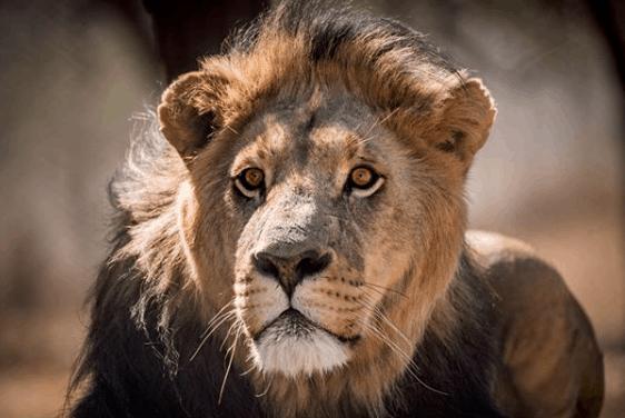 Mufasa Male Lion 9