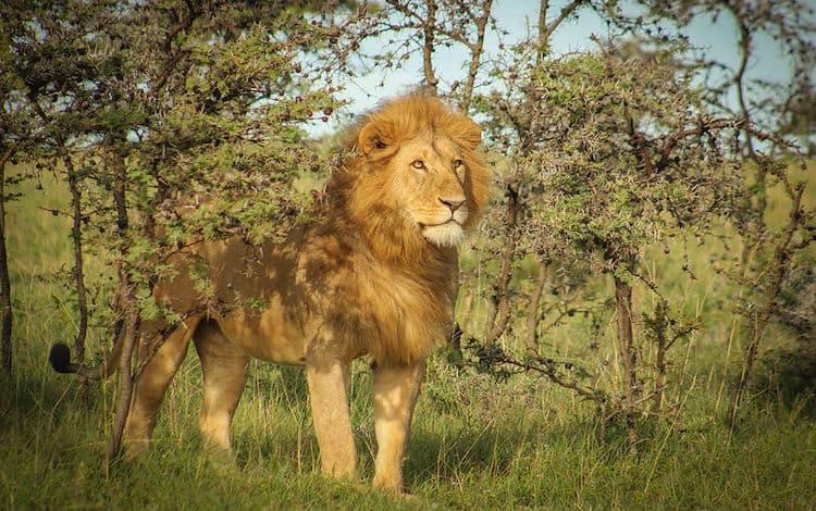Big Cat Conservation Maasai Mara 1