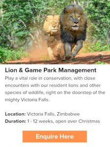 conserve lions during Christmas time in Africa